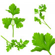 Collection of Parsley Twigs / Macro and SuperMacro / XXXL size — Stock Photo