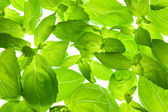 Fresh Basil Leaves close-up background / back-lit — Stock Photo
