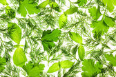Fresh Basil, Parsley and Dill / background / isolated on white / — Stock Photo