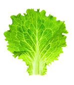 Fresh Lettuce / one leaf isolated on white background / close-up — Foto Stock