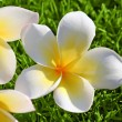 Plumeria on the Grass — Zdjęcie stockowe