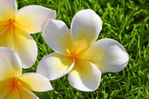 Plumeria on the Grass — Stock Photo