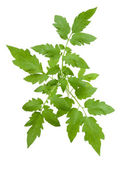 Tomato leaves — Stock Photo