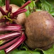 Fresh beet root isolated on white background — Stock Photo
