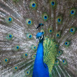 Stock Photo: Peacock spreading tail feather