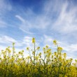 Blue sky against yellow field — Stock Photo