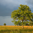 Single tree in a field. - Stock Photo