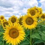 Sunflower field. — Stock Photo #10721615