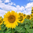Sunflower field. — Stockfoto