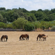 Стоковое фото: Horses grazing in paddock.