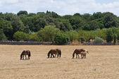 Hästar betar i en paddock. — Stockfoto