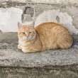 Orange tabby cat crouched on stair-step. — Stock Photo #8082363