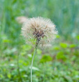 White downy dandelion on green blackground. — Stock Photo