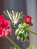 Butterfly on a red flower. — Stock Photo