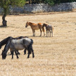 Stock Photo: Horses grazing in paddock.