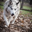 White Wolf in the woods - Stock Photo