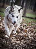 White Wolf in the woods — Foto Stock