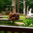 Stock Photo: Brown orangutsits and looks into river