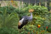 Szary koronowany żuraw głowę obrócona — Zdjęcie stockowe