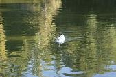 белая утка будет плыть на прозрачные озера во время — Стоковое фото