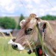 Brown Cow — Stock Photo #8481787
