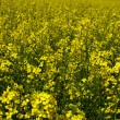Yellow flowering rape — Stock Photo