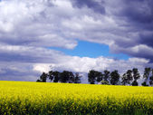 Yellow flowering rape — Stock Photo
