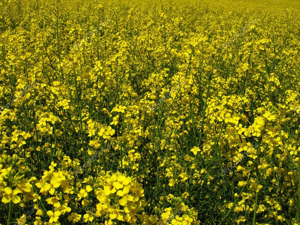 Flourishing field of yellow rape as a background — Stock Photo #10599361