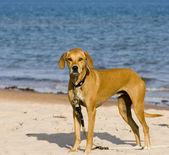 Tan coloured dog — Stock Photo