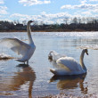 Stock Photo: Two swans in spring