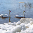 Stockfoto: Two swans