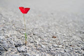 A Single red Poppy — Stock Photo