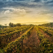 Vineyard landscape — Stock Photo