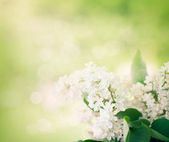 Whitelilac flowers in the garden — Stock Photo