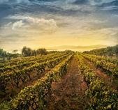 Paisaje vitivinícola — Foto de Stock