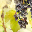 Fresh ripe grapes — Stock Photo