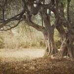 Old olive tree — Stock Photo #10616777