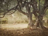 Old olive tree — Stock Photo