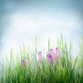 Spring floral background with crocus flowers — Stock Photo