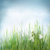 Spring floral background with snowdrop flowers — Stock Photo