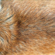 Golden dog fur - Stock Photo