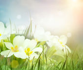 Fresh primrose flowers in the spring meadow — Stock Photo