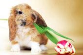Coelhinho fofo com tulipas — Fotografia Stock