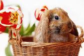 ładny mały królik z tulipany — Zdjęcie stockowe