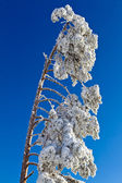 Met sneeuw bedekte fir tree in zwarte woud, kaltenbronn, duitsland — Stockfoto