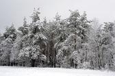 Trees in snow — Stockfoto