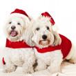 图库照片: Two cute dogs in santoutfits