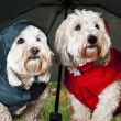 Dressed up dogs under umbrella - Stockfoto
