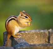 Wild chipmunk eating nut — Stock Photo