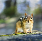 Wild chipmunk — Stock Photo
